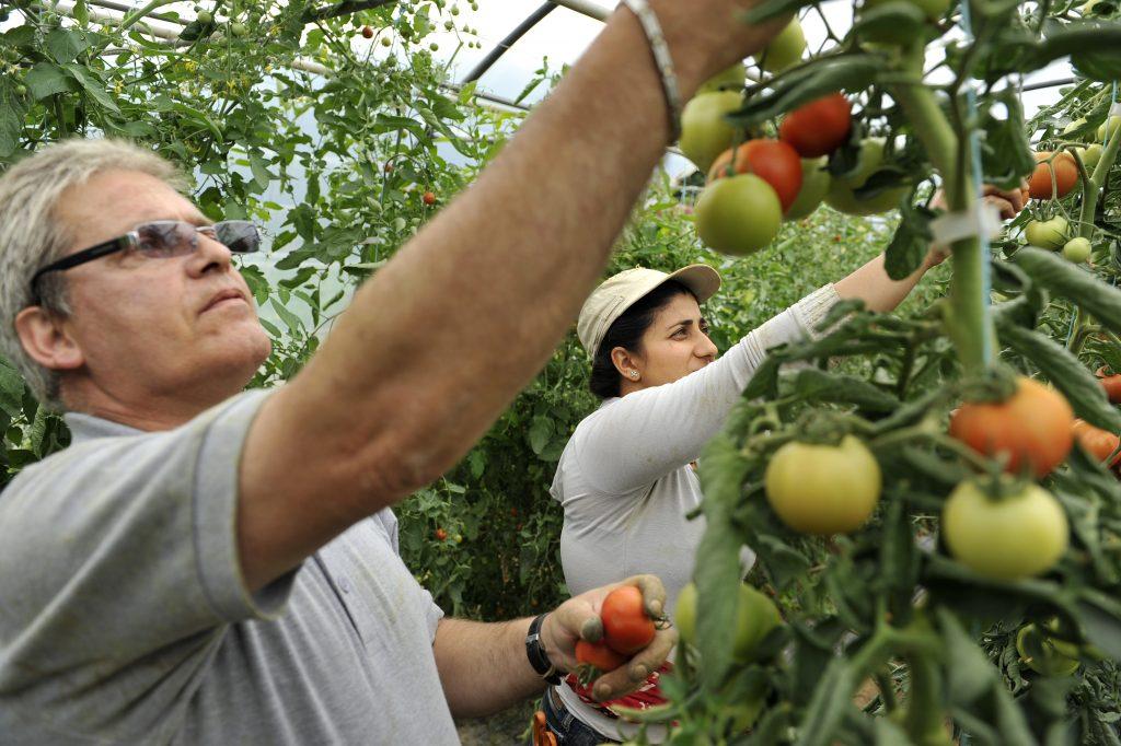 Employés récoltant des tomates